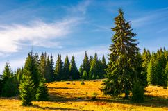Grassy glade among the spruce forest in autumn. Huge tree in front of a scene. beautiful nature background. clean environment concept. pleasing weather with Stock Image