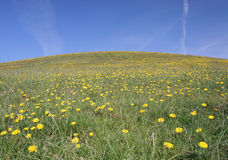 Grassy Hill Dandelion Field Stock Photography