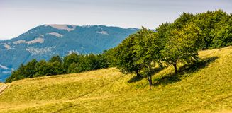 Grassy hillside with trees on a bright day. Grassy hille with trees on a bright day. beautiful summer scenery in Carpathian mountains Royalty Free Stock Photo