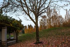 Grassy hills in fall. Large maples with fallen leaves on ground Royalty Free Stock Photo