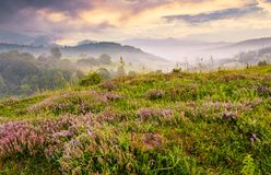 Grassy hills with flavoring thyme at foggy sunrise. Grassy hills with field of flavoring thyme at foggy sunrise. gorgeous landscape in Carpathian mountains Stock Photo