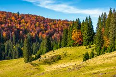 Grassy hillside with mixed forest in autumn. Picturesque nature scenery in Romanian mountains Royalty Free Stock Photo