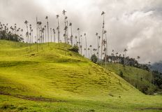 Tall wax palms in Colombia`s, Cocora Valley on cloudy day. A grassy hillside with some of the tallest palm trees in the world. These slender palms look more like Stock Photo