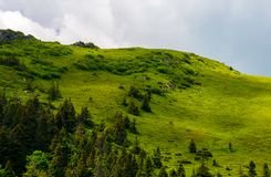 Grassy hillside with spruce forest. Lovely nature scenery in summer Stock Photos