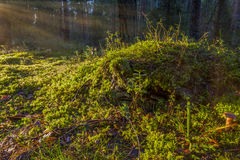Grassy knoll in outskirts of pine forest royalty free stock photography