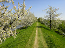 Grassy lane & flowering trees Stock Images
