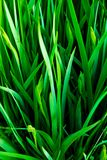Grassy Leaves Royalty Free Stock Photo