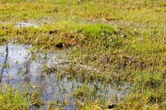 Grassy marshland with standing water Royalty Free Stock Photography