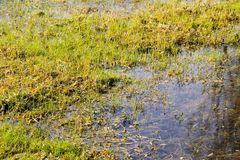 Grassy marshland with standing water Royalty Free Stock Image
