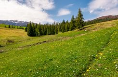 Grassy meadow with flowers in mountains. Beautiful springtime scenery with spruce forest. mountains with snowy tops in the distance royalty free stock images