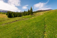 Grassy meadow with flowers in mountains. Beautiful springtime scenery with spruce forest. mountains with snowy tops in the distance royalty free stock photography