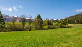 Grassy meadow among the forest in mountains. Beautiful countryside with snowy tops of mountains in the distance royalty free stock image