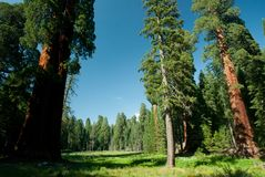 Grassy meadow with large sequoia trees Stock Image