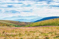 Grassy meadow in the mountain landscape. Purple fire weed flowers among the grass. ridge in the distance beneath a cloudy sky. sunny august weather stock images