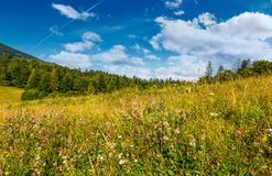 Grassy meadow near the forest. Grassy meadow with wild herbs near the forest. beautiful nature summertime scenery in mountainous area Stock Photo