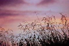 Grassy Meadow Silhouette. With a gorgeous pink and purple sky Royalty Free Stock Images