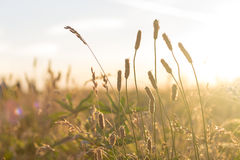 Grassy Meadow at Sunset Stock Photography