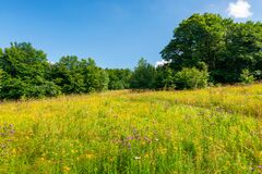 Grassy Meadow With Wild Herbs In Summer Royalty Free Stock Images