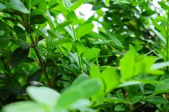The grassy natural background of small leaves, nature, shrub is ever green in both winter and summer. Boxwood, myrtle. The grassy natural background of small royalty free stock images