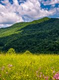 Grassy pasture with wild flowers in mountains. Beautiful summer scenery on a fine weather day Stock Images