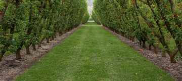 A grassy path between apricot trees in a V shape in an orchard in Cromwell in New Zealand stock photo