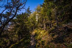 Grassy path through pine forest from top of Stadelwand to Schneeberg. Alpen, lower Austria stock image