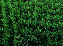 Grassy Rice Field in Dajia, Taiwan Royalty Free Stock Photos