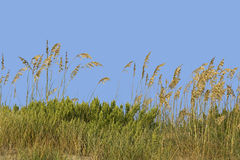 Grassy sand dune Royalty Free Stock Photo