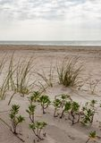 Grassy sand dunes on the beach stock images
