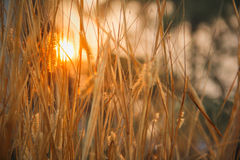 Grassy. With sun in background Grassy fields natural beauty grassy fields natural beauty grassy fields natural beauty grassy fields natural beauty Royalty Free Stock Images
