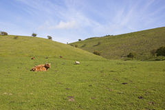 Grassy valley with livestock Stock Images