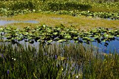 lily pads in a swamp Stock Photography