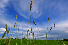 Grasthreads unter blauem Himmel Stockfotografie