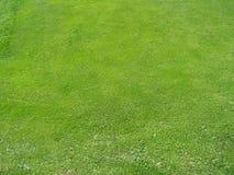 Graswiesenunkraut Stockbild