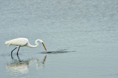 Grat Egret with its catch Stock Photos