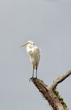 Grat Egret with its catch Stock Image