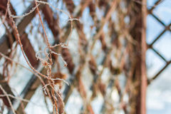 Grate for backgrounds, wooden diamonds. Lattice with plants in the winter in the form of rhombuses royalty free stock photos