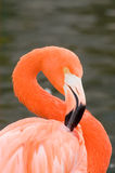 Grater Flamingo. (Phoenicopterus ruber) closeup royalty free stock images