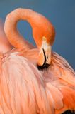 Grater Flamingo (Phoenicopterus ruber). Head closeup royalty free stock photos