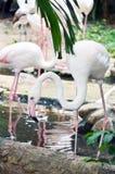 Grater flamingo (Phoenicopterus ruber) Royalty Free Stock Image