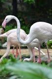 Grater flamingo Stock Photography