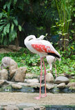 Grater flamingo (Phoenicopterus ruber) in zoo Royalty Free Stock Photography