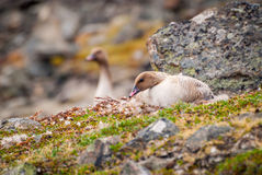 Grater white fronted goose nesting. In arctic tundra royalty free stock photos