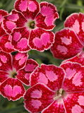 Gratianopolitanus del Dianthus ?chiazzato? Immagini Stock Libere da Diritti