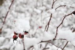 Gratte-cul de Rose dans l'hiver Image stock