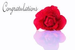 Gratulations med en röd ros Arkivbilder