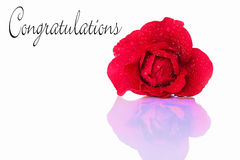 Gratulations with a red rose Stock Images
