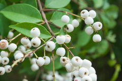 Gratum Syzygium (Уайт) s n Mitra var gratum Стоковые Изображения