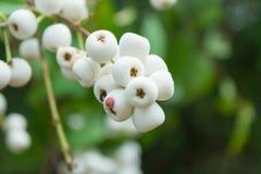 Gratum Syzygium (Уайт) s n Mitra var gratum Стоковое фото RF