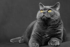 Grau-blaue Katze der britischen Zucht liegt und schaut oben Lizenzfreies Stockbild